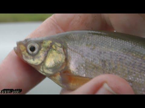 рыбалка гальян