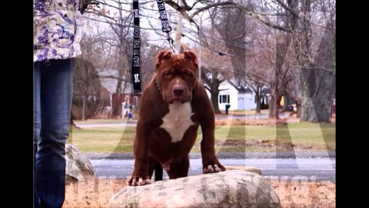 Worlds Largest Pitbull Puppy The Hulk Youtube