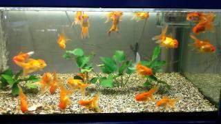 Золотые рыбки в аквариуме!