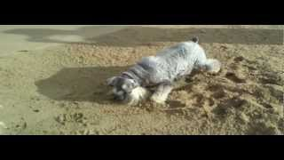 Miniature Schnauzers Hunting Crabs