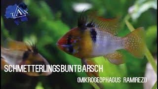 Wissenswertes über :Microgeophagus ramirezi (Schmetterlingsbuntbarsch) /TAX