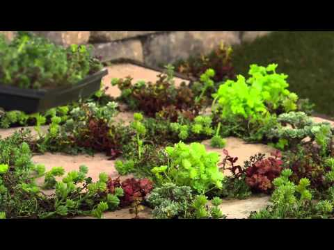 Cottage Farms Rainbow Magic Carpet Sedum with Kerstin Lindquist