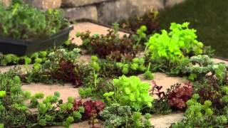 Cottage Farms Rainbow Magic Carpet Sedum with Kerstin Lindquist