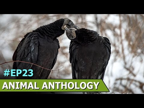 8 Baby Condors Are Released Into A National Park In Chile | Animal Anthology | Episode 23