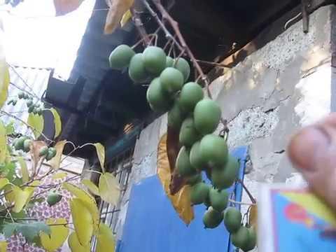 Сибирячка актинидия  радует плодами   в Харькове
