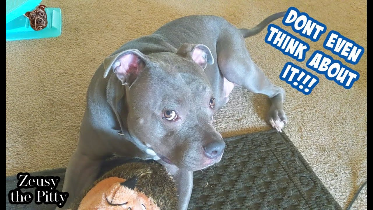 Talking pitbull Has So Much To Say!! Absolutely Loves Talking!