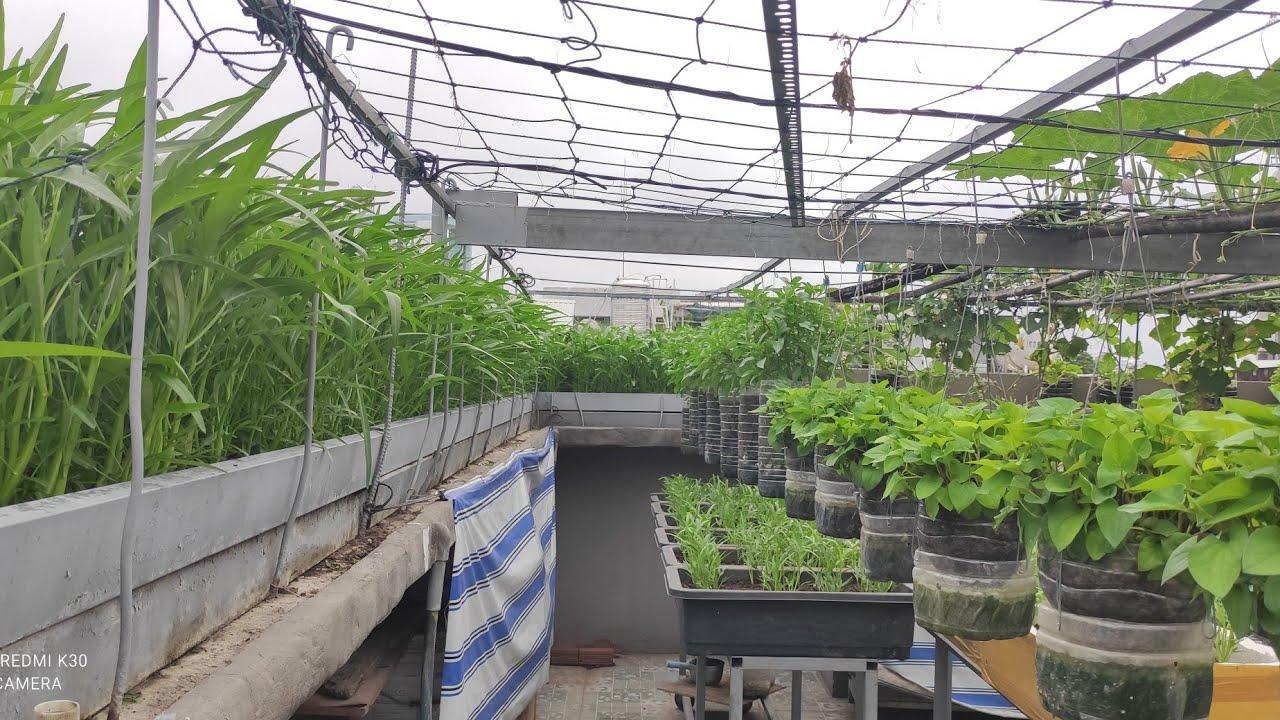 Vườn đủ loại rau cải trong thời gian giản cách toàn Thành Phố Hồ Chí Minh | Khoa Hien 425