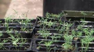 Dill Herb Container Gardening : Herb Gardening
