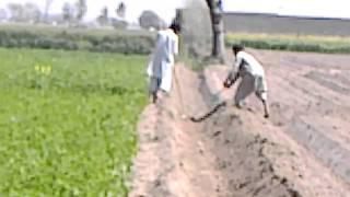 44 Adeel Ahmad agriculture farm @depalpur, pakistan