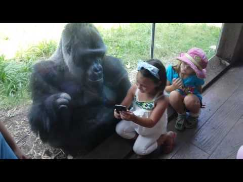 Thumbnail: MUST SEE!!!!! SWEET GORILLA JELANI LOVES AND TELLS PEOPLE TO SWIPE TO NEXT PICTURE ON PHONE