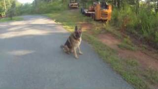 Example Of Advanced Obedience Off-lead Training