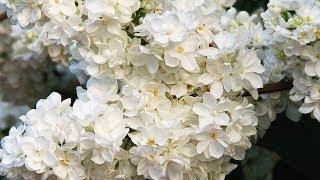 Цветы Победы у вас в саду!