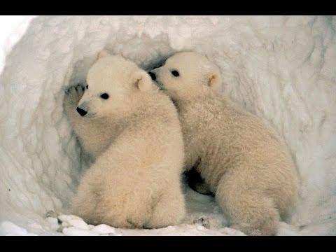 Вопрос: Почему белые медведи белые?