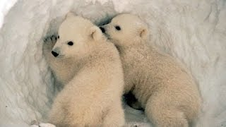 Вся правда о полярных медведях! Документальные фильмы, фильмы про животных