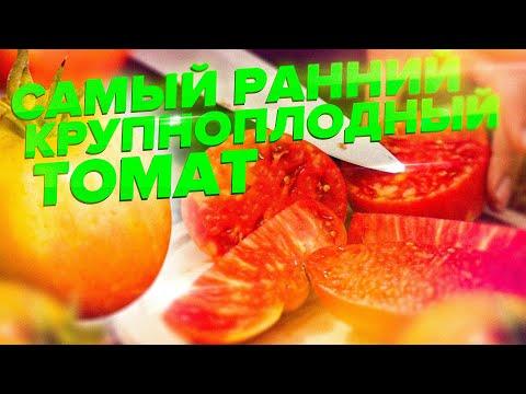 САМЫЙ РАННИЙ ТОМАТ 2020. ПРОБУЕМ ТОМАТ КОРОЛЕВИЧ НА ВКУС | сибирские | королевич | томаты_2020 | мясистые | томат_2020 | розовые | крупные | томаты | томат | самые