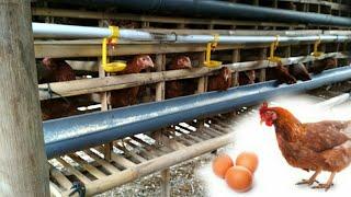 Video Ukuran kandang ternak ayam bertelor bagi pemula download MP3, 3GP, MP4, WEBM, AVI, FLV Mei 2018