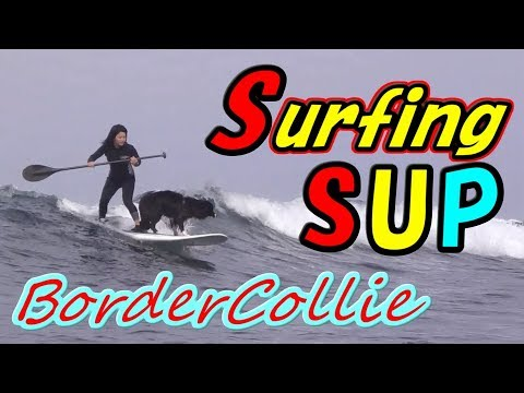 SUP Surfing Border Collie Rides Waves With Ease