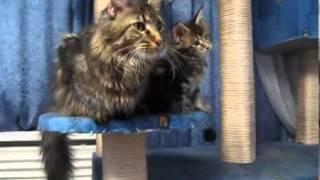 Смешные кошки Мейн Кун