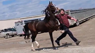 Great Canadian Dutch & Driving Horse Sale Stallion Parade 2017