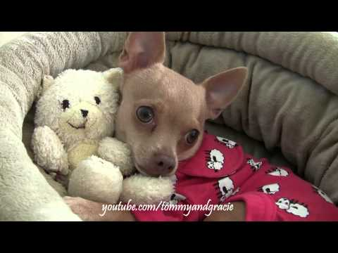 CUTE CHIHUAHUA HUGS HIS TEDDY BEAR ❤️