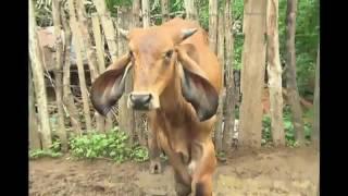 Maria das Vacas: a vaqueira de Sergipe que tem uma boiada de estimação