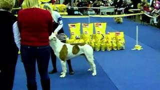 Выставка собак Ярославль 1.12.12 американский бульдог