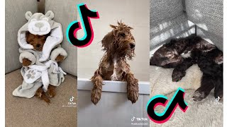 Funny and Cute Cockapoo  Dogs and Puppies Tiktok Compilation