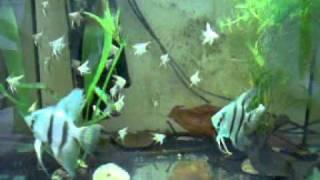 Blue Glitter Angelfish & baby Thumbnail