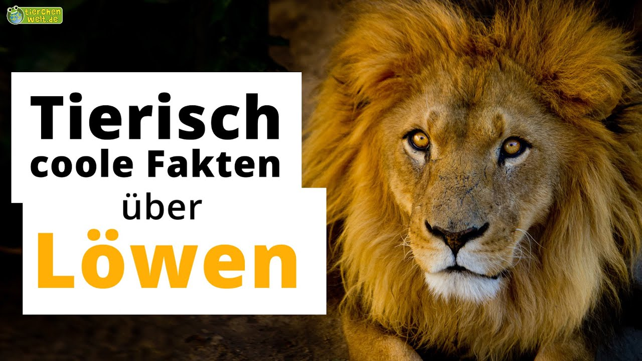 Video 15 Interessante Fakten über Löwen