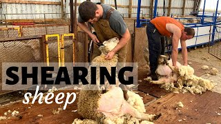 How & Why We Shear Our Sheep (AND A LITTLE DRAMA): Vlog 175