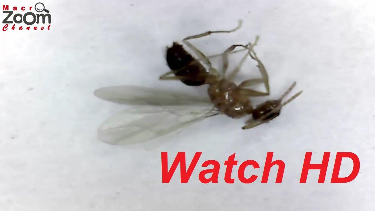 Winged Ant (Close-Up Anatomy) - YouTube