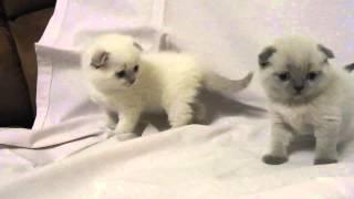 Котята блю пойнт и лай лак пойнт