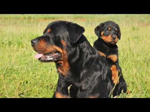 how-to-train-your-rottweiler-by-yourself