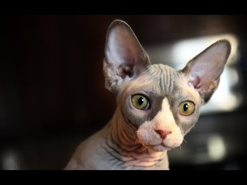 13 Sphynx Cat Facts