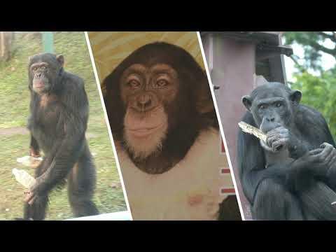 チンパンジー プリン ちゃん