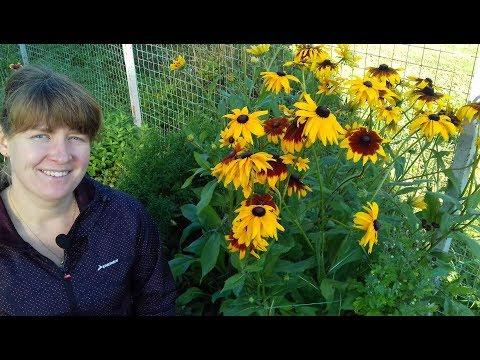 Как собрать семена рудбекии