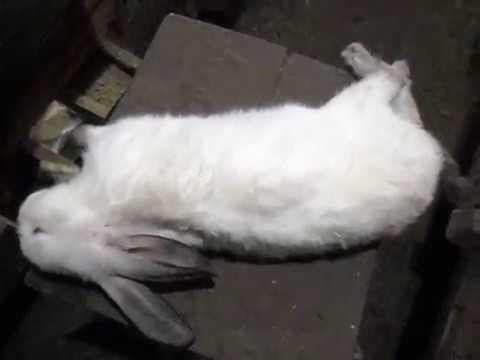 Непроходимость кишечника у кролика