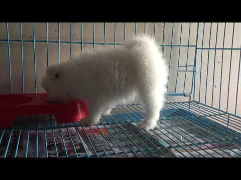 Japanese Spitz for Sale In Nepal