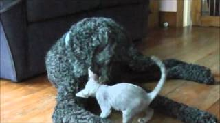 Devon Rex Kitten Wisecracks Bonbel playing with her dog