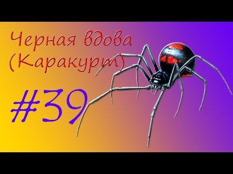 Вопрос: Где обитает паук черная вдова Откуда такое название?