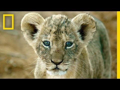 National Geographic Live! - Shivani Bhalla: Securing a Future for Lions - National Geographic  - vrWaPQHjtwo -
