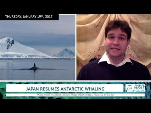 Japan Resumes Antarctic Whaling (1/19/17)