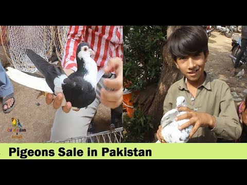 Download - karachi pigeons market video, lt ytb lv
