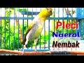 Pleci Ngerol Nembak Full Isian Ampuh Buat Pancingan Nalela Kicau  Mp3 - Mp4 Download