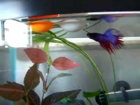 Funny Betta Fish VS Ping Pong Ball
