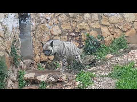 Syrian striped hyaena