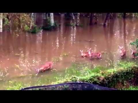 Charleston Rain 10-3-2015 - Family Of Deer Lost Their Home.