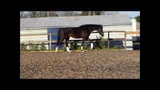 Dressage Horse for sale