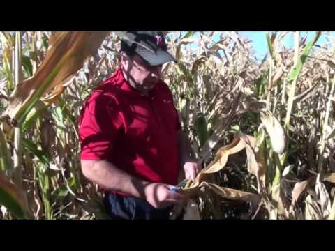 Corn School: The Push Test- Will Corn Stay Standing Until Harvest