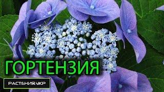 Уход за гортензией / Гортензия пильчатая(Гортензия (лат. Hydrangea) — род цветковых растений семейства Гортензиевые, состоящий приблизительно из 70—80..., 2015-02-15T17:16:56.000Z)